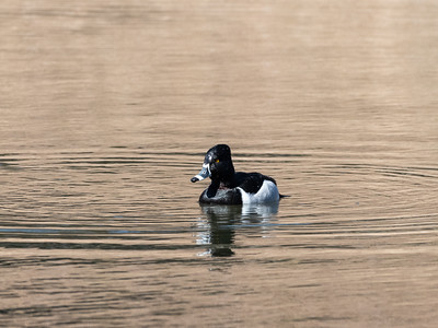 Ring necked Duck 28 Feb 2019-1884