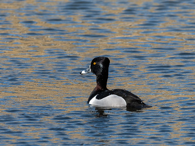 Ring necked Duck 28 Feb 2019-1864