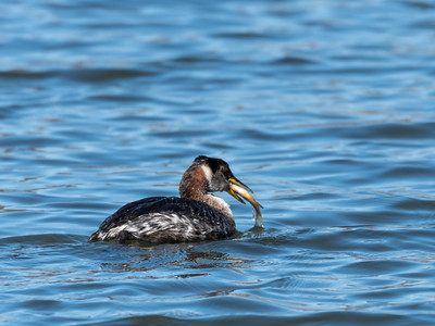 Red Necked Grebe 28 Feb 2019-1934