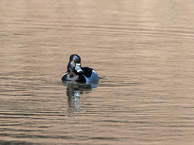 Ring necked Duck 28 Feb 2019-1888
