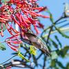 Hummingbirds 9 May 2018-3262