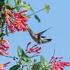Hummingbirds 9 May 2018-3216