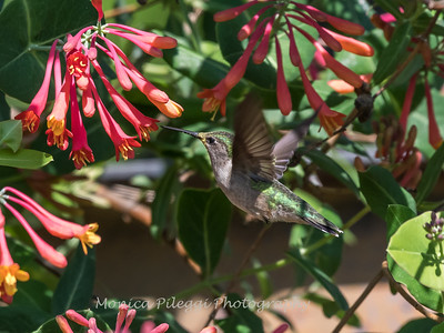 Hummingbirds 9 May 2018-3321