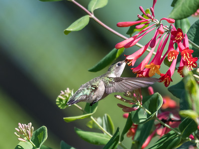 Hummingbirds 9 May 2018-3142