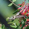 Hummingbirds 9 May 2018-3142