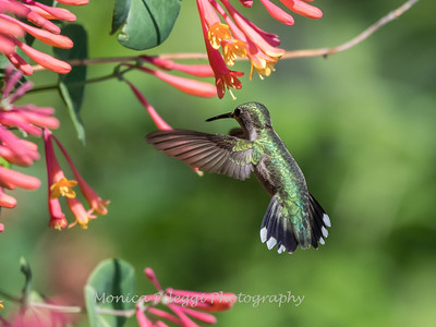 Hummingbirds 9 May 2018-3291