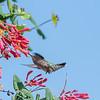 Hummingbirds 9 May 2018-3215