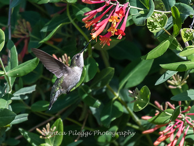 Hummingbirds 9 May 2018-3148