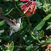 Hummingbirds 9 May 2018-3148