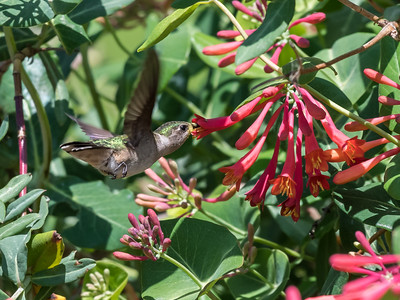 Hummingbirds 9 May 2018-3306
