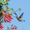 Hummingbirds 9 May 2018-3212
