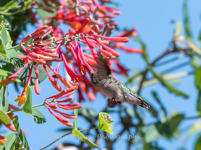 Hummingbirds 9 May 2018-3266