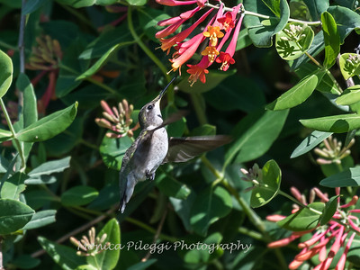 Hummingbirds 9 May 2018-3147