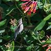 Hummingbirds 9 May 2018-3147