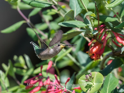 Hummingbirds 9 May 2018-3308