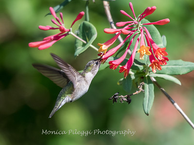 Hummingbirds 9 May 2018-3168