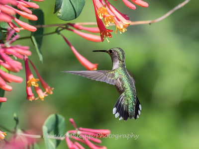Hummingbirds 9 May 2018-3292