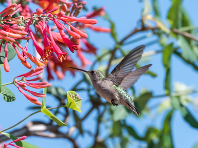 Hummingbirds 9 May 2018-3265