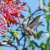 Hummingbirds 9 May 2018-3265