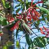 Hummingbirds 9 May 2018-3184