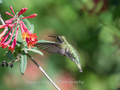 Hummingbirds 9 May 2018-3161