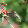 Hummingbirds 9 May 2018-3161