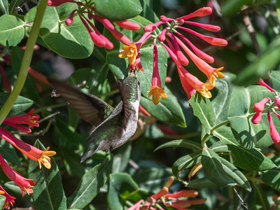 Hummingbirds 9 May 2018-3249