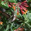 Hummingbirds 9 May 2018-3249