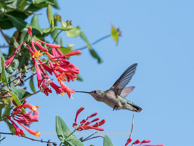 Hummingbirds 9 May 2018-3214