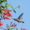 Hummingbirds 9 May 2018-3214