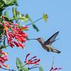 Hummingbirds 9 May 2018-3213