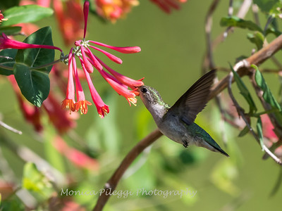 Hummingbirds 9 May 2018-3230