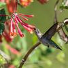 Hummingbirds 9 May 2018-3230