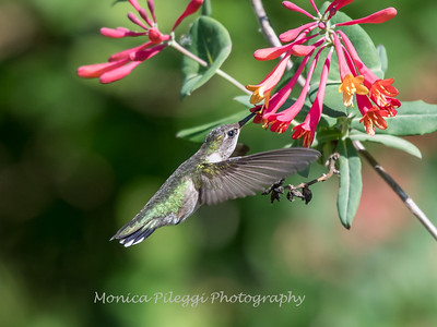 Hummingbirds 9 May 2018-3165
