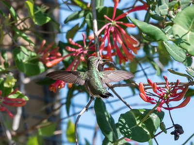 Hummingbirds 9 May 2018-3187