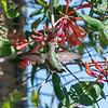 Hummingbirds 9 May 2018-3187
