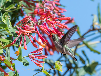 Hummingbirds 9 May 2018-3268