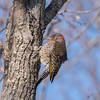 Northern Flicker 29 Dec 2017-7436