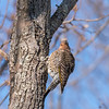 Northern Flicker 29 Dec 2017-7433