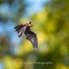 Bat 20 September 2017-8368