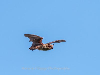 Bat 20 September 2017-8367