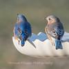 Bluebird 29 Dec 2017-7191