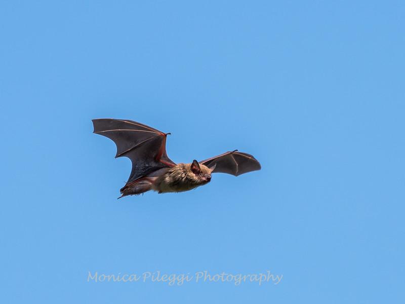 Bat 20 September 2017-8347