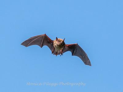 Bat 20 September 2017-8377
