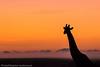 Masai Mara giraffe at sunrise