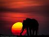 Masai Mara elephant at sunset