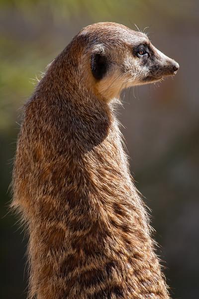 Meerkats 2011