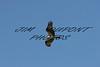 Ospray in flight
