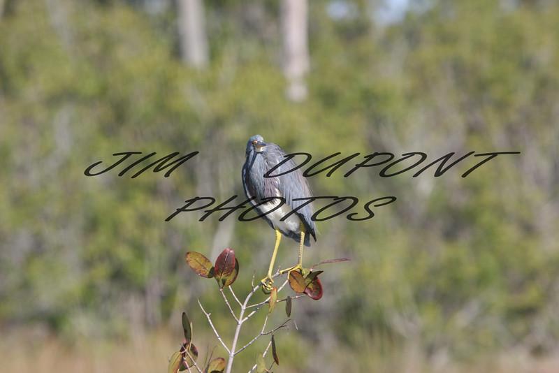 Tri color Heron