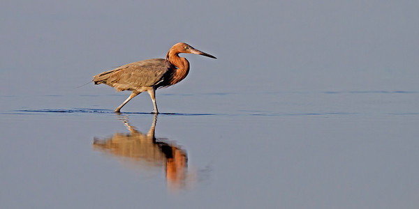 reddish egret, Merritt Island National Wildlife Refuge, FL in January